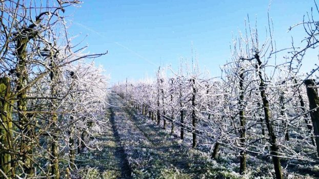 Slika- voćke prekrivene mrazom